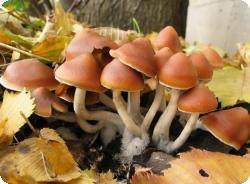 Галлюциногенные грибы – новый метод лечения депрессии