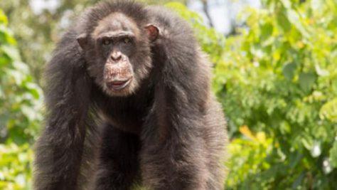 Признаки болезни Альцгеймера впервые были обнаружены у шимпанзе