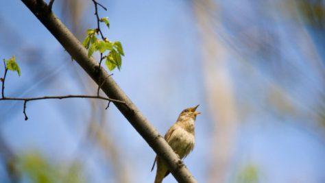 Пение птиц помогает победить депрессию и стресс