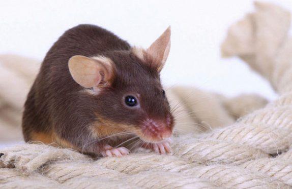 Ученые научились блокировать у мышей чувство страха