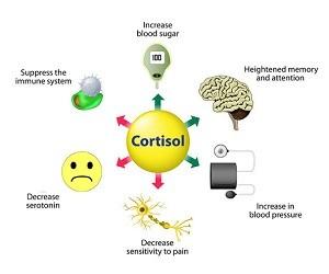 Гормон кортизол: продолжительность жизни