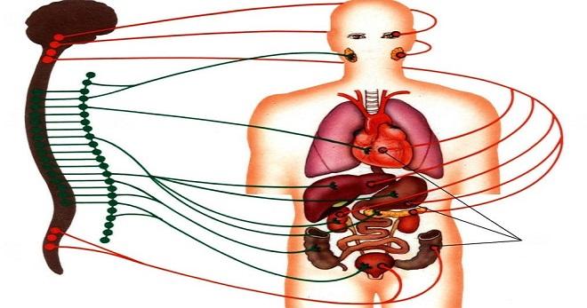 Парасимпатическая нервная система – особенности работы и главные функции